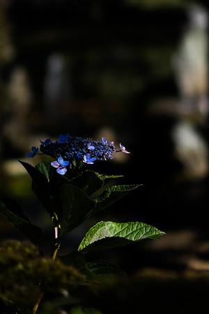 恵林寺 季節外れの紫陽花-1556