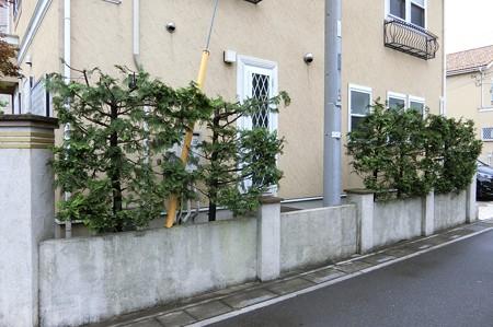 蓮田市K様邸ヤマボウシ剪定4