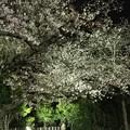 Photos: 撮って出し。。横浜三渓園の夜桜見物 (^^)4月6日