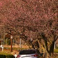 Photos: 大井川鐵道 抜里駅。。春の訪れと愛車。。(^^)