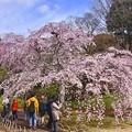 小石川後楽園の枝垂れ桜。。20170402