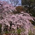 綺麗にした垂れたサクラ。。小石川後楽園 20170402