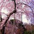 枝垂れ桜の傘。。小石川後楽園 20170402