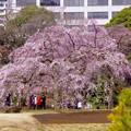 ふんわりと開いた枝垂れ桜。。小石川後楽園 20170402