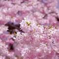 淡いピンクの枝垂れ桜の花。。小石川後楽園20170402