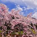 魚眼で見る小石川後楽園枝垂れ桜2。。(^^)20170402
