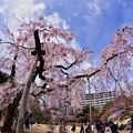 魚眼で見る小石川後楽園枝垂れ桜3。。(^^)20170402