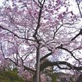 魚眼で見る枝垂れ桜。。まるで傘のように開く。。(^^)20170402