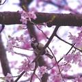 小鳥さんもお花見。。(^^)小石川後楽園枝垂れ桜20170402