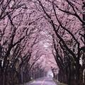 雨降りの朝の。。海軍道路桜並木。。20170408
