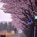 朝の海軍道路。。歩道も桜に。。20170408