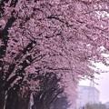 雨降る海軍道路。。朝から桜眺めながら散歩20170408