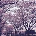 朝の海軍道路桜並木。。桜のトンネル。。20170408
