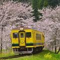 写真: 黄色い列車とサクラと菜の花。。いすみ鉄道 20170410