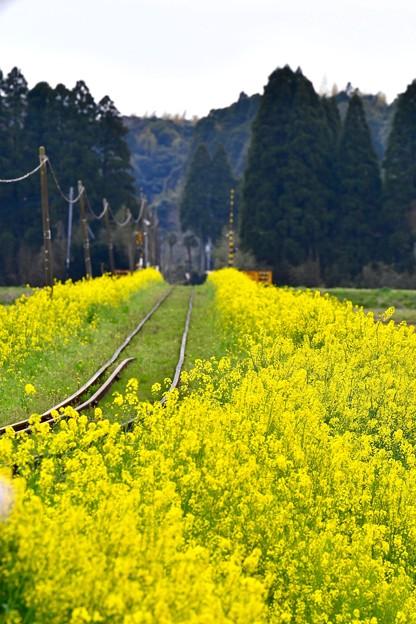菜の花が出迎える長い線路。。20170410