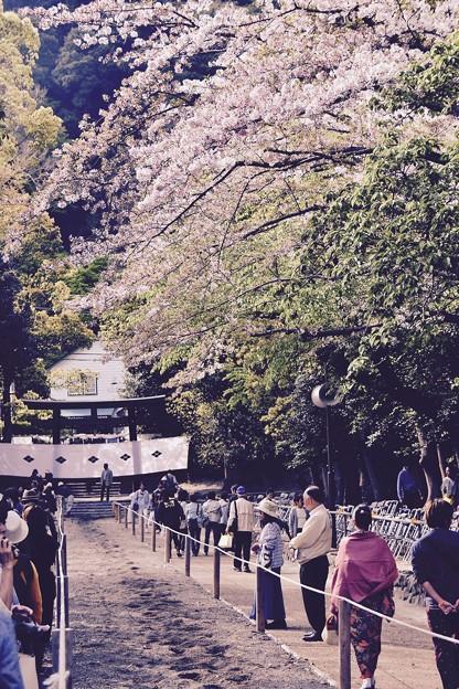 まだ桜残る。。鎌倉鶴岡八幡宮流鏑馬コース 20170416