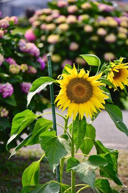 開成町の向日葵と紫陽花。。(^^)20170610