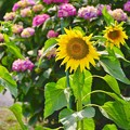 Photos: 紫陽花に負けず咲く向日葵 開成町 20170610