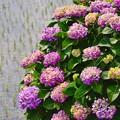 田植えも落ち着き。。開成町 紫陽花見てる 20170610