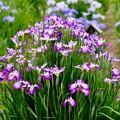 涼しげに咲く。。水郷佐原あやめパークの花菖蒲 20170611