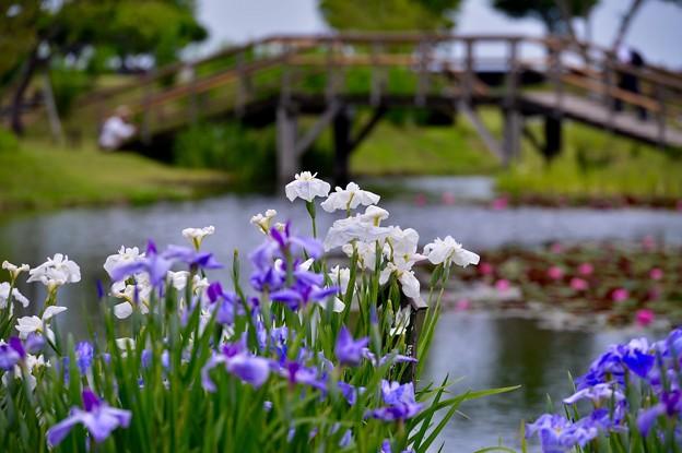 橋かかる水辺に菖蒲が咲く風景。。20170611