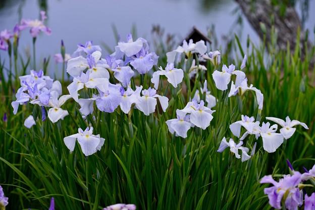 水郷の町 佐原に咲く花菖蒲。。20170611