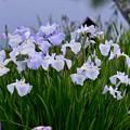 写真: 水郷の町 佐原に咲く花菖蒲。。20170611