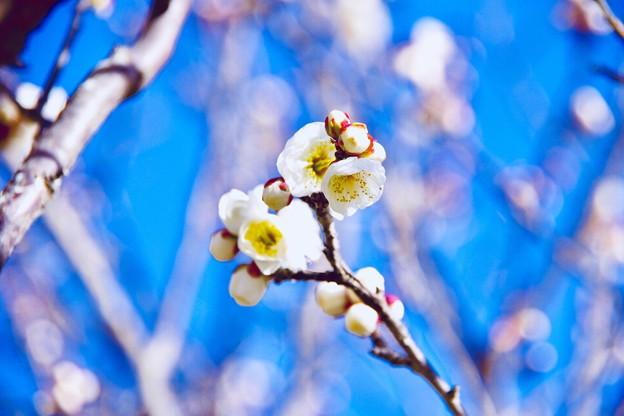 撮って出し。。鎌倉鶴岡八幡宮の梅も咲き始めて 1月27日