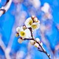 写真: 撮って出し。。鎌倉鶴岡八幡宮の梅も咲き始めて 1月27日
