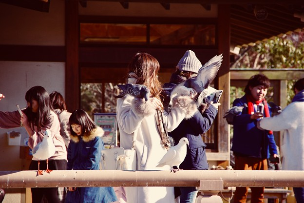古都鎌倉鶴岡八幡宮。。鳩象徴する場所。。20180127
