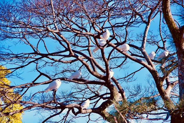 古都鎌倉鶴岡八幡宮。。象徴の白い鳩。。20180127