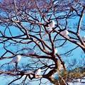 写真: 古都鎌倉鶴岡八幡宮。。象徴の白い鳩。。20180127