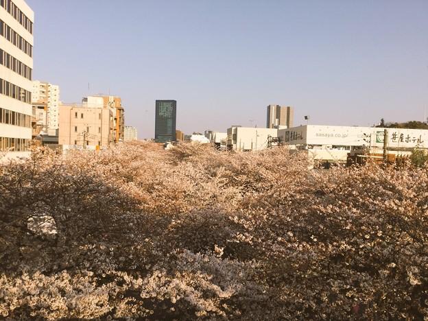 撮って出し。。早朝の中目黒駅から目黒川の桜観賞 満開(^^) 3月25日