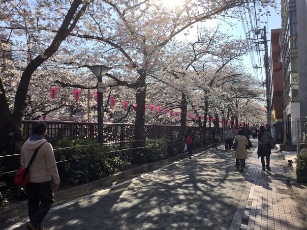 撮って出し。。目黒川沿いに沿道に桜並木 3月25日