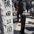 写真: 撮って出し。。お次の桜散策ハシゴは浅草隅田公園へ 3月25日