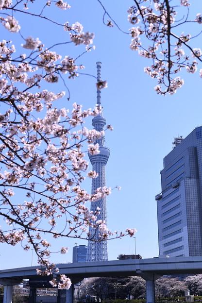 写真: 撮って出し。。スカイツリーと桜 これから満開へ 3月25日