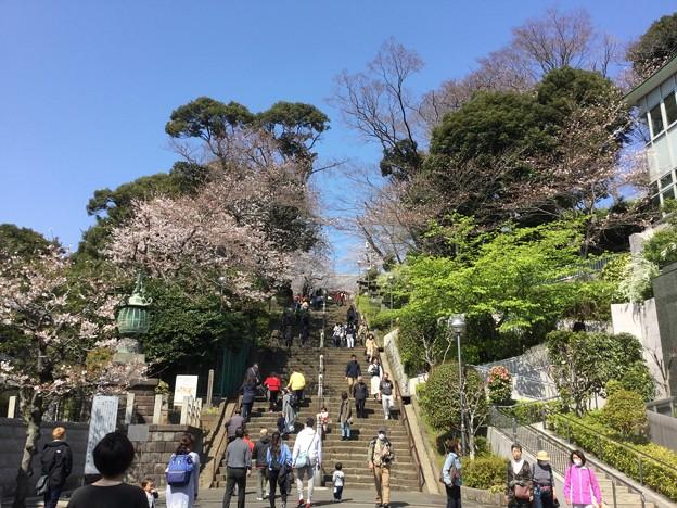 撮って出し。。お次の桜散策ハシゴ 池上本願寺へ 3月25日