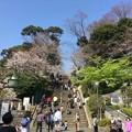 Photos: 撮って出し。。お次の桜散策ハシゴ 池上本願寺へ 3月25日