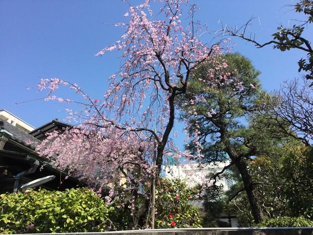 撮って出し。。初めて訪れた池上本願寺周辺の桜 3月25日