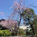 写真: 撮って出し。。初めて訪れた池上本願寺周辺の桜 3月25日