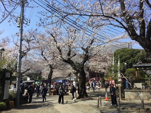 撮って出し。。池上本願寺の桜もほぼ満開へ 3月25日