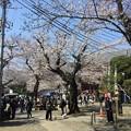 Photos: 撮って出し。。池上本願寺の桜もほぼ満開へ 3月25日