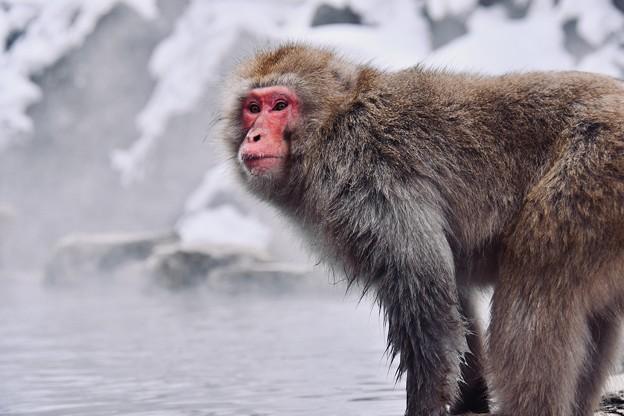 凛々しい顔つきの若手猿。。野猿公苑 20180203