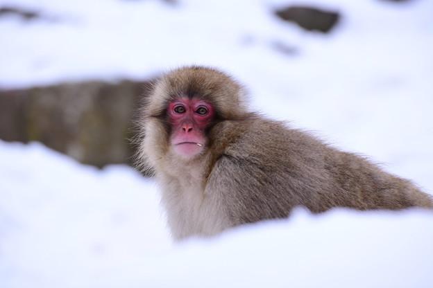 真っ白な雪と野猿公苑のお猿さん 20180203