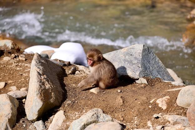 暖かくなった野猿公苑 子猿も日向へ 20180203