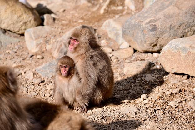 兄弟仲良く子猿。。野猿公苑 20180203