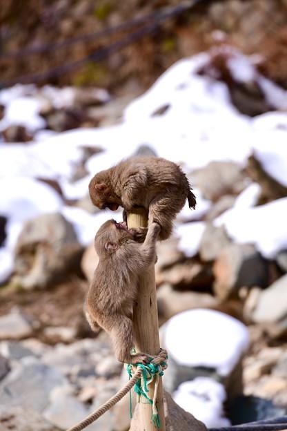 めっちゃ元気に飛び跳ねる子猿。。野猿公苑 20180203