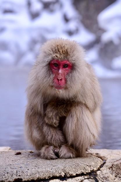 ちょっと寒そうにしているお猿さん 野猿公苑 20180203