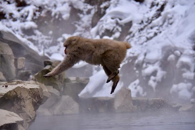 ジャンプするお猿さん。。野猿公苑(^^)20180203