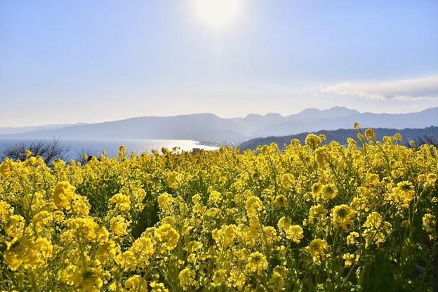 太陽の光の中吾妻山公園の菜の花畑 20180204